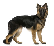 German Shepherd dog, 7 months old, standing. In front of white background Stock Image