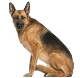 German Shepherd Dog, 8 and a half years old. Sitting in front of white background Royalty Free Stock Image