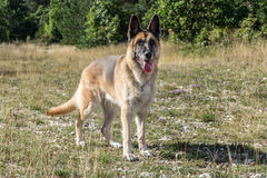 German Shepherd Dog adult Stock Photography