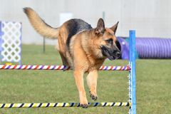 German Shepherd at a Dog Agility Trial Stock Images