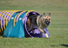 German Shepherd at a Dog Agility Trial Royalty Free Stock Image
