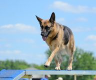 German Shepherd at a Dog Agility Trial Stock Image