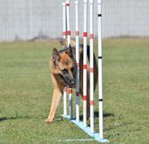 German Shepherd at a Dog Agility Trial Royalty Free Stock Images