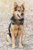 German Shepherd Dog also known as Alsatian Royalty Free Stock Image