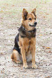 German Shepherd Dog also known as Alsatian Stock Photos