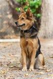 German Shepherd Dog also known as Alsatian Stock Photo