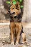 German Shepherd Dog also known as Alsatian Royalty Free Stock Photos