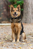 German Shepherd Dog also known as Alsatian Stock Images