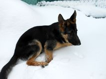 German shepherd dog background young dog lying in the snow waiting to play Royalty Free Stock Images