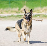 German Shepherd dog on beach. Healthy and active German Shepherd dog fetching stick on beach Royalty Free Stock Photo