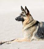 German Shepherd dog on beach. Healthy German Shepherd dog lying on sandy beach royalty free stock photo