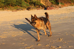 German Shepherd dog on beach with stick. A German Shepherd pet dog running on the beach with stick in mouth stock photos