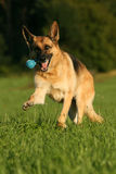German Shepherd dog. Beautiful German Shepherd dog playing happily with a toy stock photography