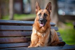 German shepherd dog on the bench Royalty Free Stock Image