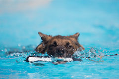 German Shepherd Dog Biting Toy in the Water. A German Shepherd dog bites down on a toy in the water at a dock jumping competition Royalty Free Stock Images