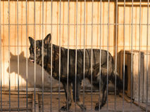 German shepherd dog black in colour looking sad the sight of the cage. German shepherd dog sits locked in a cage behind bars. The concept of abuse with Pets Royalty Free Stock Images