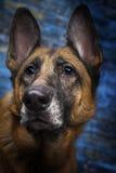 German Shepherd Dog Blue Background Stock Photography