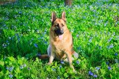 German Shepherd Dog Bluebell Wildflower Field Stock Images