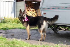 German Shepherd dog with a bow at the neck Stock Photo
