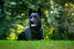 German Shepherd Dog, is a breed of large-sized working dog that originated in Germany, sitting in the green grass with nature back Stock Photography