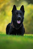 German Shepherd Dog, is a breed of large-sized working dog that originated in Germany, sitting in the green grass with nature back Stock Images