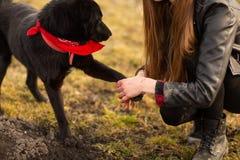 German Shepherd dog Brovko Vivchar walking in field with his mistress royalty free stock images