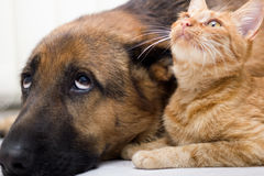 German Shepherd Dog and cat together cat and dog together lying. Close up  cat and dog together lying on the floor Stock Image