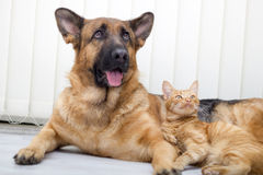 German Shepherd Dog and cat together cat and dog together lying Stock Image