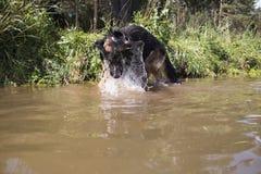 German shepherd dog catches fish. In the lake stock photo