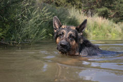 German shepherd dog catches fish. In the lake royalty free stock photos