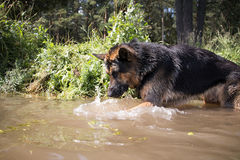 German shepherd dog catches fish. In the lake stock images