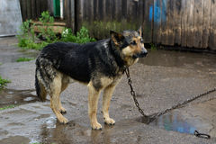 German Shepherd dog on a chain in the rain Royalty Free Stock Photos