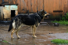 German Shepherd dog on a chain in the rain Stock Photography