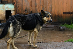 German Shepherd dog on a chain in the rain Royalty Free Stock Photo