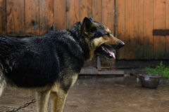 German Shepherd dog on a chain in the rain Stock Photo