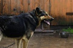 German Shepherd dog on a chain in the rain Stock Photo