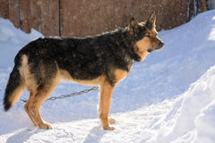 German Shepherd dog on the chain Royalty Free Stock Photography