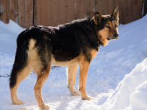 German Shepherd dog on the chain Royalty Free Stock Images