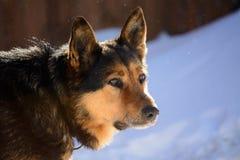 German Shepherd dog on the chain Stock Image