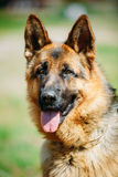 German Shepherd Dog Close Up. Alsatian Wolf Dog Or German Shepherd Dog Stock Images