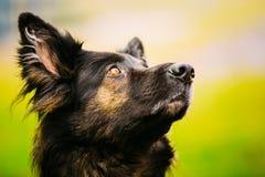 German Shepherd Dog Close Up Royalty Free Stock Images