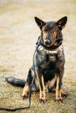 German Shepherd Dog Close Up Royalty Free Stock Photos