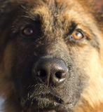 German Shepherd dog. Close up cute nose Royalty Free Stock Photo