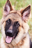 German Shepherd Dog. Close-up of a happy six month old German Shepherd puppy looking into the camera. Extreme shallow depth of field with selective focus on dogs royalty free stock image
