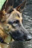 German Shepherd Dog. Close-up image of a female German Shepherd's face Royalty Free Stock Photos