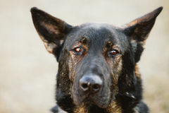 German Shepherd Dog Close Up Portrait. Alsatian Wolf Dog. Deutsc Royalty Free Stock Image