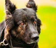 German Shepherd Dog Close Up Portrait. Alsatian Wolf Dog. Deutsc Stock Photo