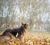 German shepherd dog composition Royalty Free Stock Images
