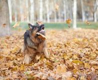 German shepherd dog composition Stock Image