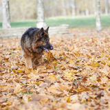 German shepherd dog composition Royalty Free Stock Image